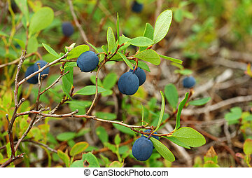 Vaccinium uliginosum (bog bilberry or northen bilberry) is common subarctic berry