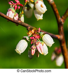 Bog blueberry flowers (Vaccinium uliginosum). - Closeup of ...