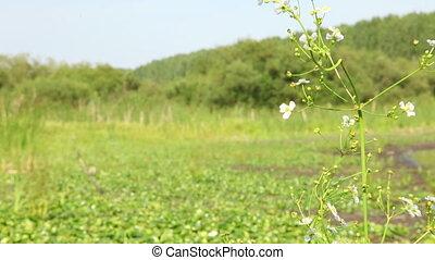 Bog flowers - Rare flowers in Siberian bog, focus changes