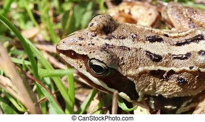Bog frog -  macro - Bog frog - Rana arvalis in macro shot