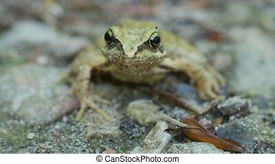 Bog frog on a forest trail - front view - Bog frog on a...