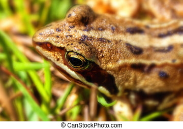 Bog frog - Rana arvalis in macro shot