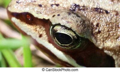 Bog frog - Rana arvalis in super macro shot