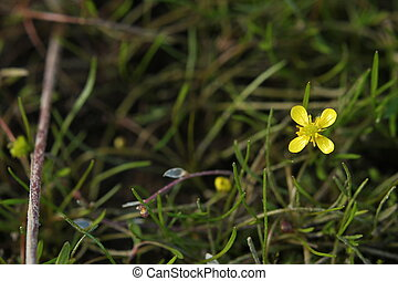 Bog Marshcress
