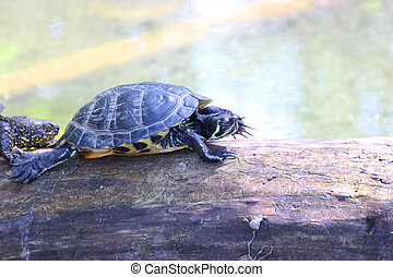 Bog turtle - Erupean bog turtle at a water - animal...