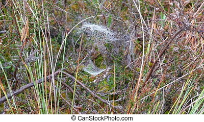 Bog vegetation and spider web - Close-up of bog vegetation...