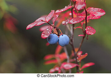 bog whortleberry - Two ripe great bilberry on a bush with ...