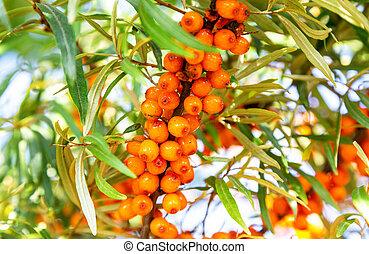 bogyók, varjútövis, természetes, narancs, tenger, kicsi