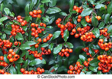 bogyók, zöld, pyracantha, piros, nedves