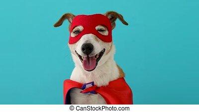 bohater, pies, wspaniały, kostium