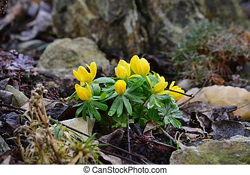 bohemia, flor, eranthis, sul