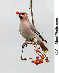 The Bohemian waxwing (Bombycilla garrulus) is a starling-sized passerine bird that feeds on berries during winter migration, berry in beak.