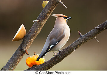Bohemian Waxwing perched on a branch during spring