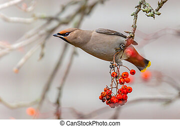 The Bohemian waxwing (Bombycilla garrulus) is a starling-sized passerine bird that feeds on berries during winter migration
