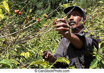 bohnenkaffee, landwirt, pflückend, reif, bohnen