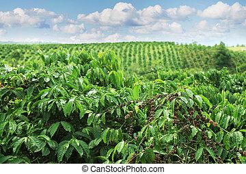 bohnenkaffee, plantagen, von, östlich, vietnam