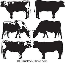boiada, -, vaca, touro