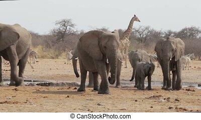 boire, éléphants africains, troupeau
