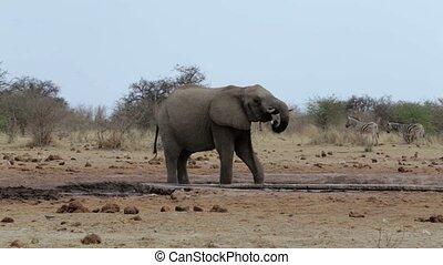 boire, éléphants africains