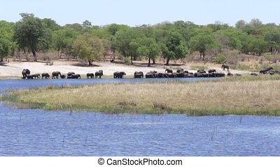 boire, éléphants, troupeau, africaine