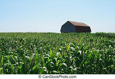 bois, champ maïs, vert, grange
