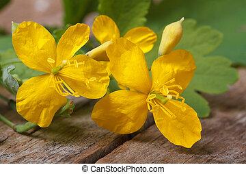 bois, jaune, closeup, celandine, table, fleurs