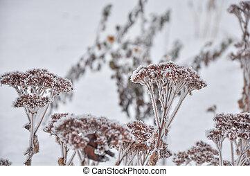bojiště, květiny, zima, jíní