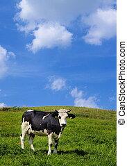bojiště, nezkušený, kráva