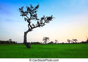 bojiště, rýže, strom