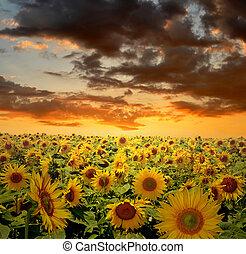 bojiště, slunečnice