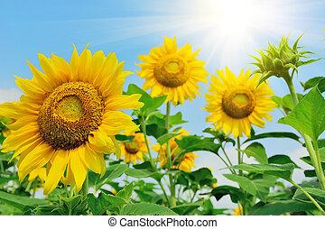 bojiště, slunečnice, summer.