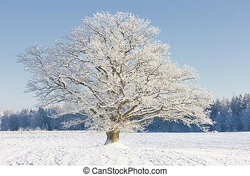 bojiště, strom, dub, zima, sněžit
