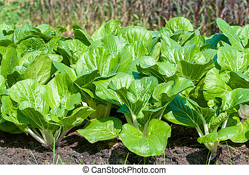 bok choy, (chinese, cabbage)
