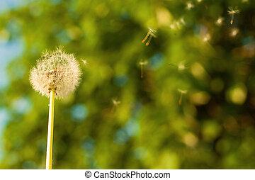 bokeh, pissenlit, arbre, vent
