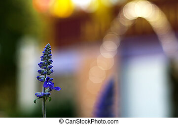bokeh, virág, levendula
