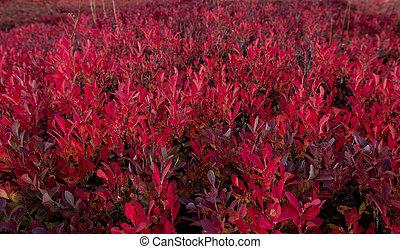 bokrok, fordítás, huckleberry, befest, bukás, piros