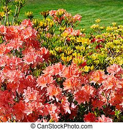 bokrok, rododendron, virágzó