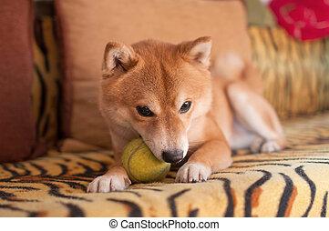 bola, cão, sofá