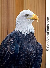 bold eagle on wooden plant bacground