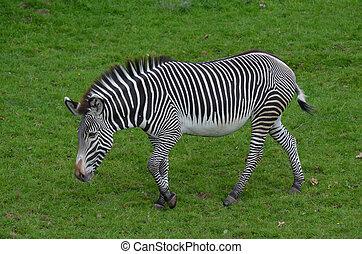 Bold Markings on a Zebra in a Large Field
