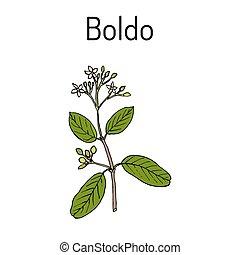 Boldo Peumus boldus , culinary and medicinal plant. Hand...