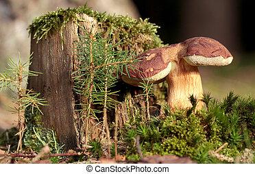 Bolete in moss in forest