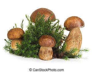 boletus, cep, fungo, su, foresta, muschio, isolato, bianco,...