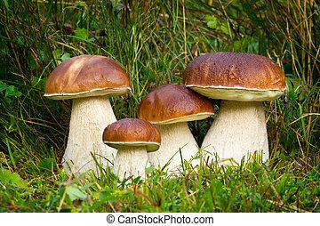 Boletus edulis, edible mushroom