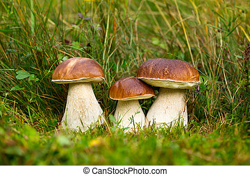 Boletus edulis, edible mushroom - Edible mushrooms with...