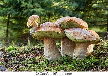boletus, edulis., fungo, em, a, natural, environment.