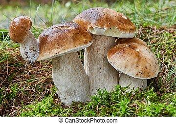 boletus, edulis., fungo, in, il, naturale, environment.