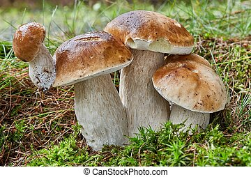 Boletus edulis. Fungus in the natural environment. - Boletus...