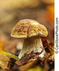 Boletus edulis in the forest
