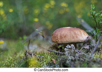 Boletus edulis Mushroom (porcini) on grass in forest